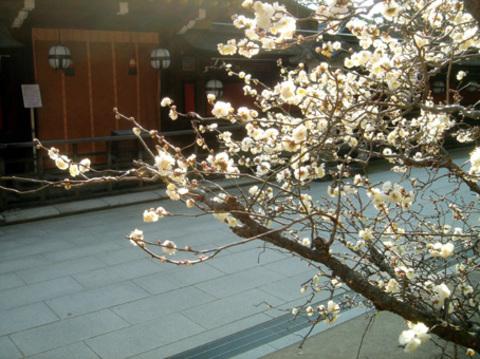 Prunier_en_fleurs_japon